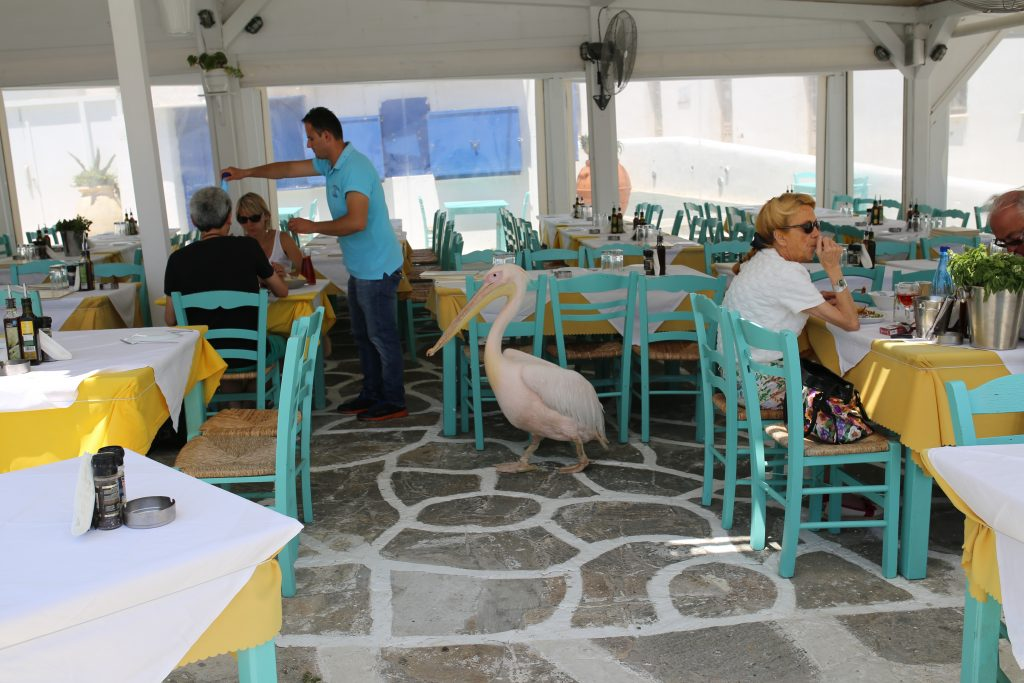 Pelikan Petros wizytuje tawernę