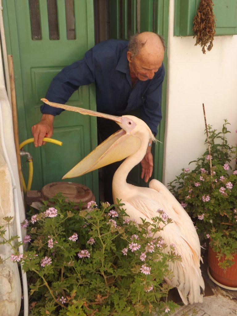 Pelikan Petros wita się z mieszkańcem Mykonos